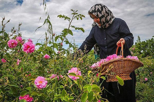 شروع برداشت گل محمدی در خراسان جنوبی