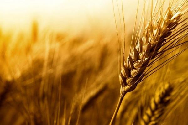 رشد بی سابقه نرخ گندم و خوراک دام و طیور در بازار های جهانی
